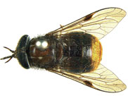 A fly called Beyonce…