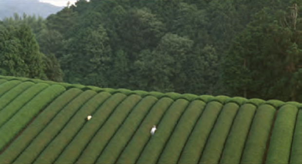 The Mourning Forest - Tea Field