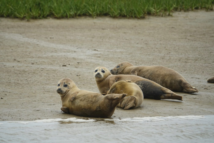 Seals return to the Thames! Cleaner water gets our, er, 'seal of approval'